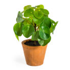Faux Chinese Money Plant
